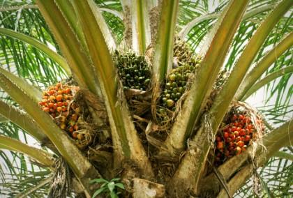 arvore-palma